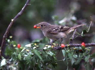 080811-chili-bird-02